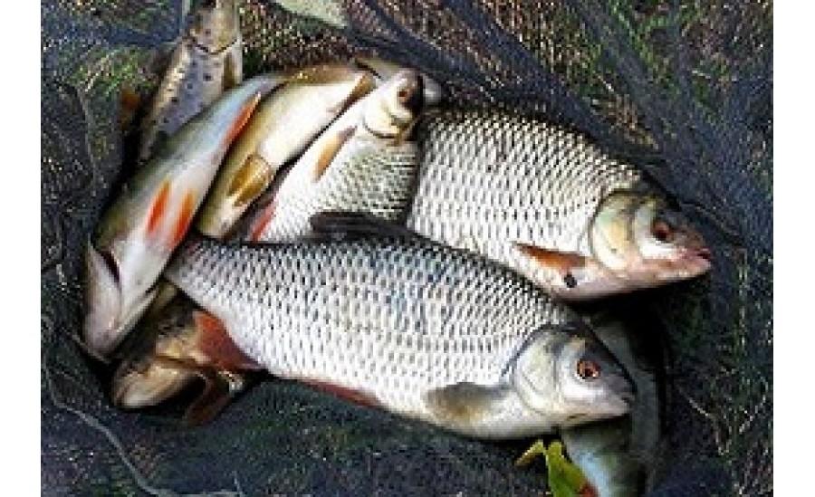 Fishing roach
